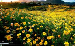 美丽清新的黄色花海Win7主题