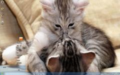 幸福的猫咪Win7主题